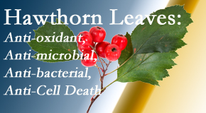 Manahawkin Chiropractic Center shares new research regarding the flavonoids of the hawthorn tree leaves' extract that are antioxidant, antibacterial, antimicrobial and anti-cell death.